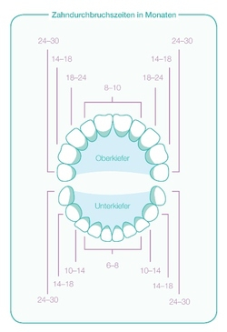 Information graphic showing when the teeth come through, in months